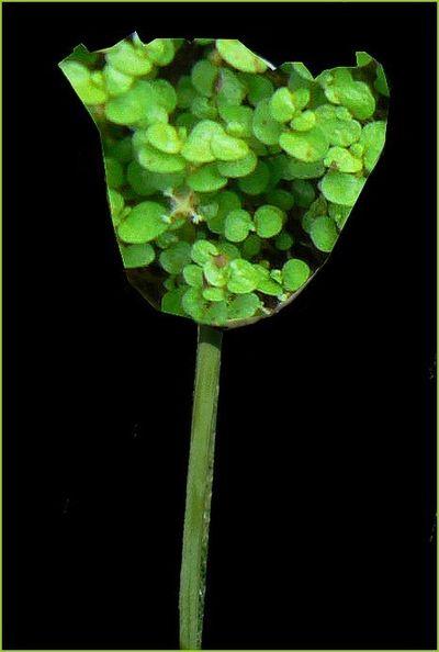 Tulipe mousse1