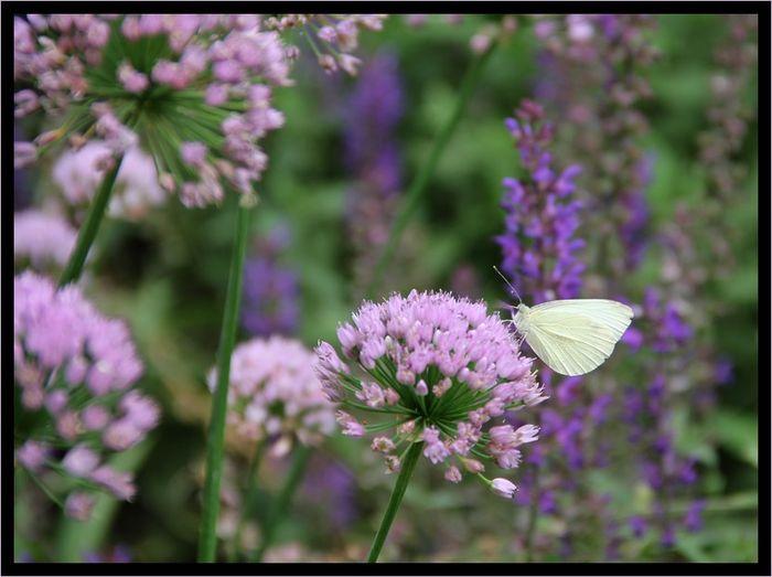 Papillonblanc