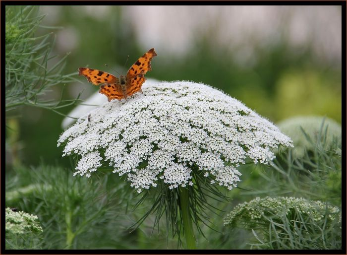 Papillonroux