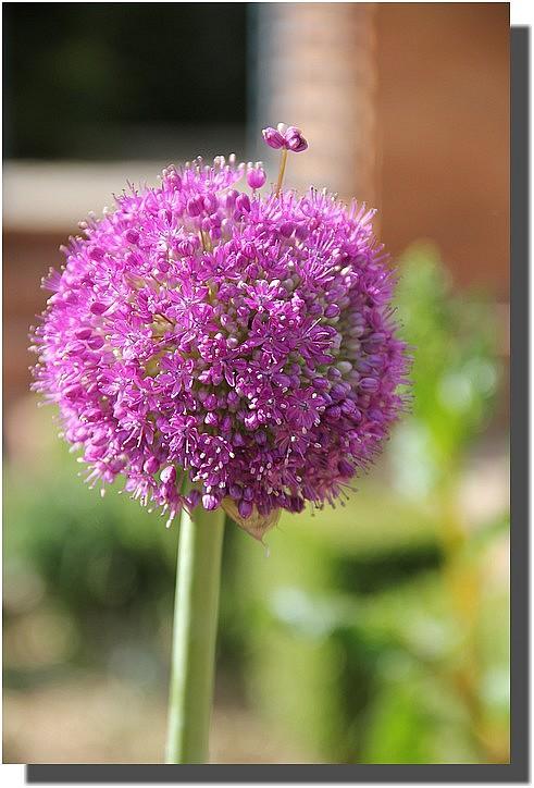 Allium4