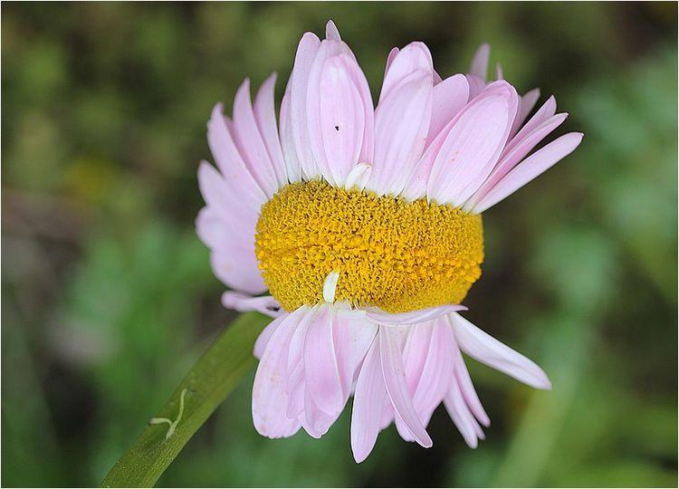 Fleurs siamoises_6588