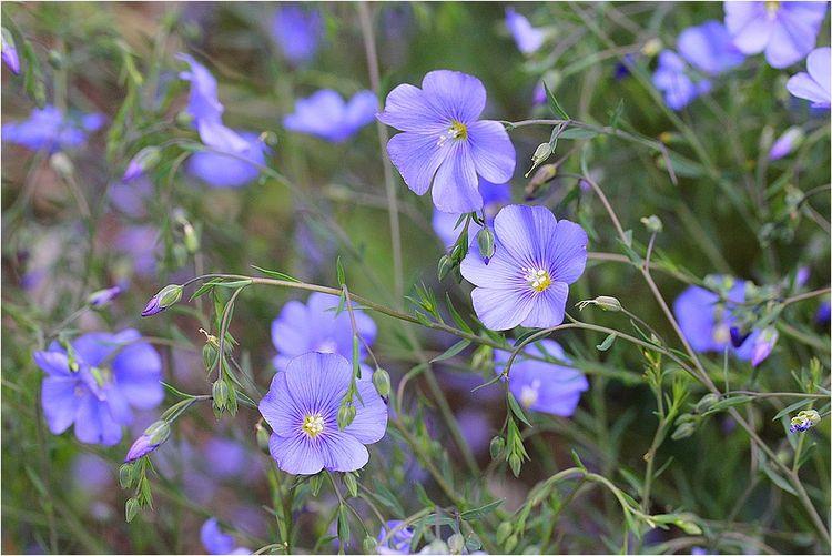 Moniquetdany Fleurs Bleues