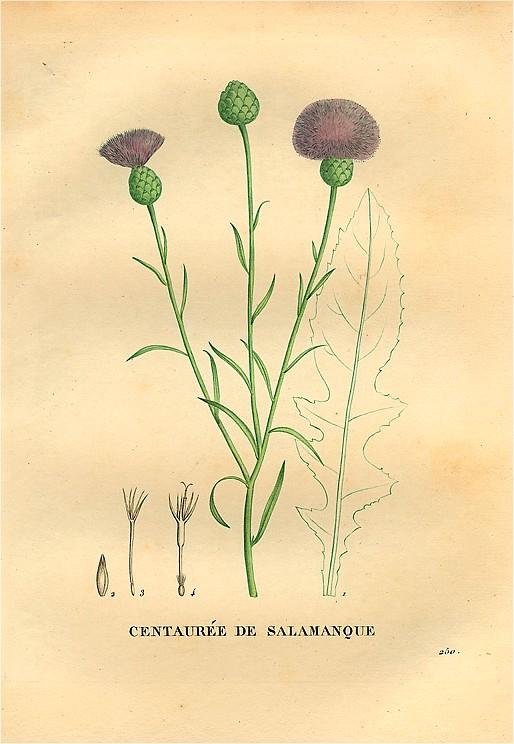 Centaurea_salmantica