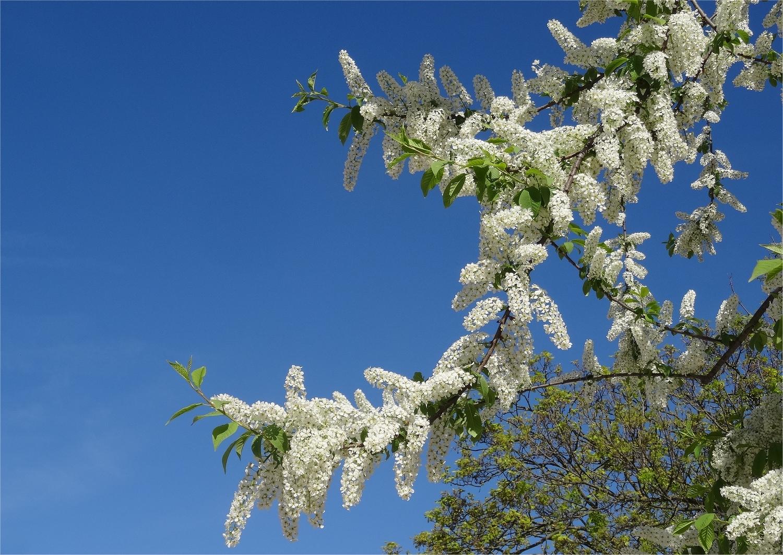 DSC00354 Prunus padus (cerisieràgrappes)