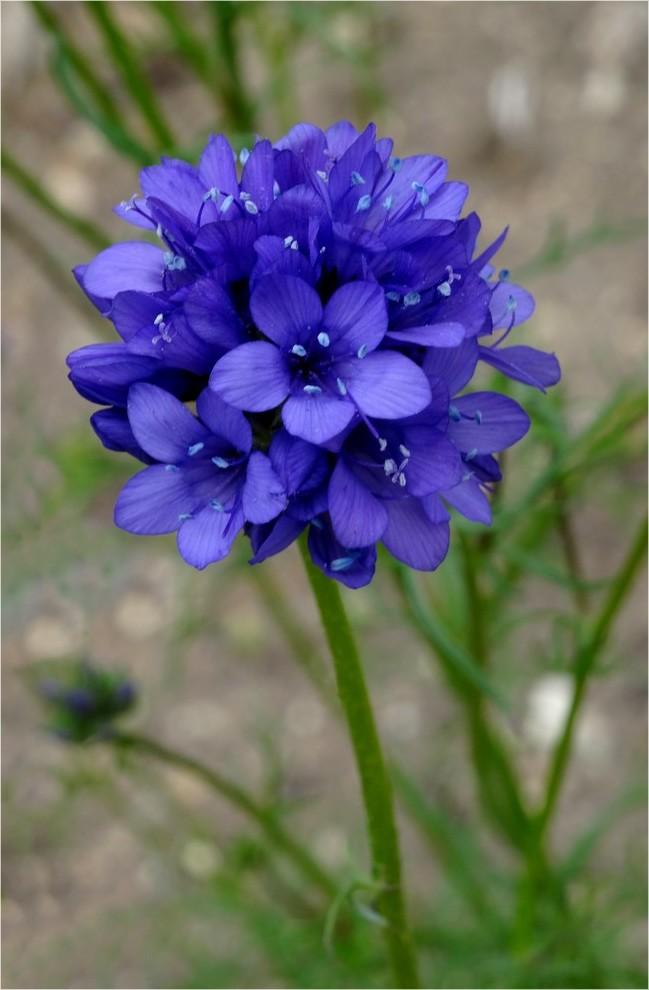 DSC01125Gilia achilleifolia