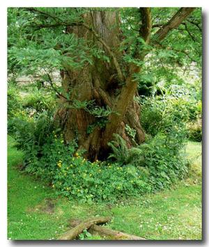 Metasequoia1_2