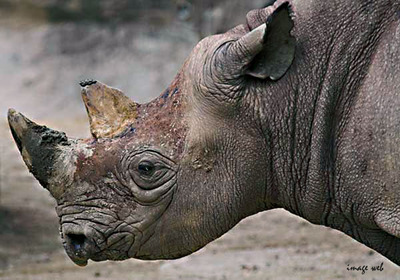 Rhinoceros_01_copie_2