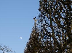 Corbeau_et_lune_4